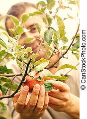 Picking apples - Apples harvest. Picking autumn apples in...
