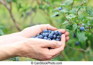 Picking Blueberries from a Blueberry Bush