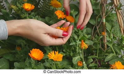 Picking calendula flower buds to dry and use in medical...