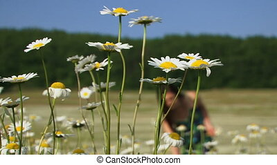 Picking chamomile - Woman picking chamomile in a blooming...