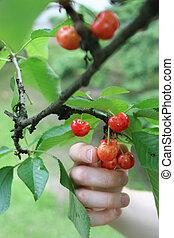 Picking cherries 1