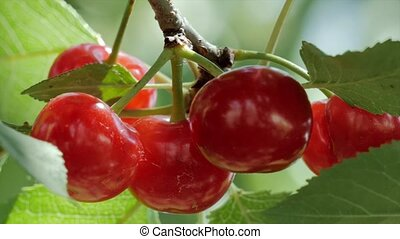 Picking cherries from a tree