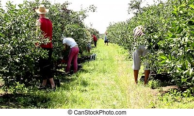 Picking cherries in orchard