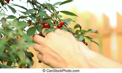 Picking cherry from branch