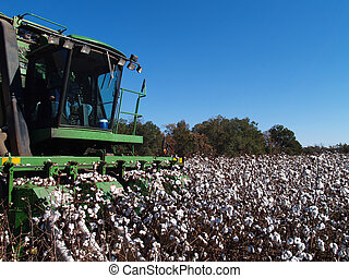 Picking Cotton Close-up - Farmer picking cotton with a...
