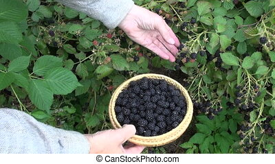 picking fresh blackberry berry from garden bush