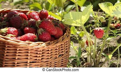 Picking fresh strawberry