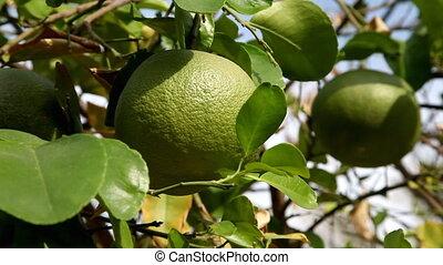 Picking grapefruit from tree