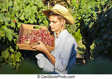 picking grapes in the vineyard