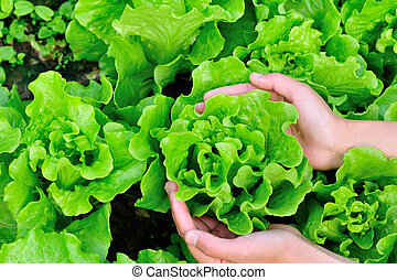 picking green lettuce at field - woman farmer hands picking...