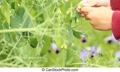 Picking green pea pods from the bush