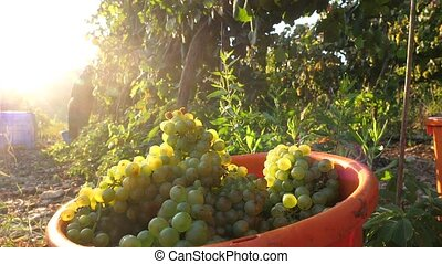 Grapes Wineries. Picking Green Wine Grapes During Harvest. Ripe Vineyard Grapes. Grapes In The Vineyard.