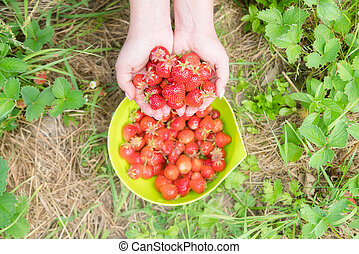Picking home grown strawberry in garden. Organic berries in hand