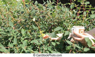 Picking honeysuckle from the bush in the garden