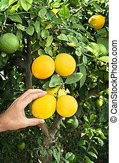 Picking lemons from tree