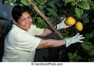 Picking lemons - Happy senior Asian woman outdoors in garden...
