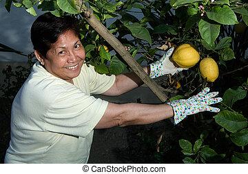 Picking lemons - Happy senior Asian woman outdoors in garden...
