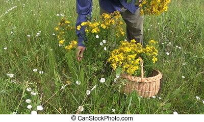 picking medical herb tutsan Hypericum perforatum flower on...