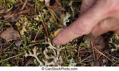 Picking Mushrooms chanterelle mushrooms