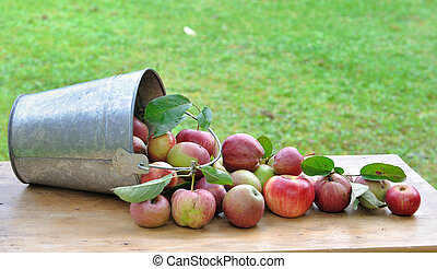 picking of apples