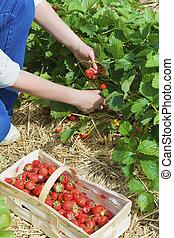 picking  of fresh organic  strawberry