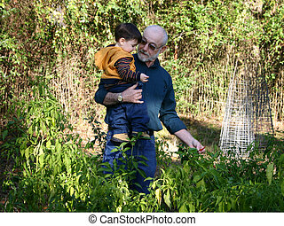 Picking Peppers - Toddler boy helping grandpa pick red hot...