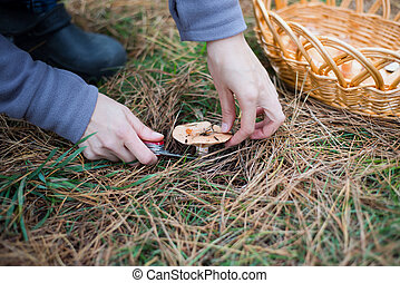 Picking pine mushrooms