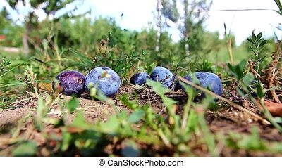 Picking plums - Fallen blue plums on the ground in an...