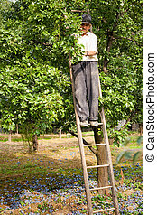 Senior farmer picking plums in an orchard