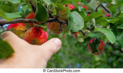 Picking red apple from a tree in summer - A Hand is picking...