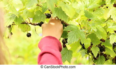 Picking ripe blackberry from the bush
