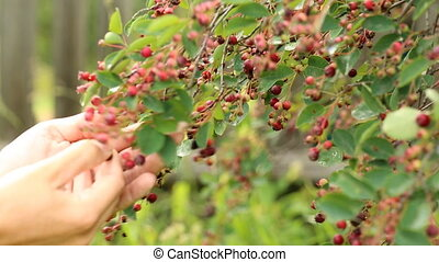Picking ripe shadberry from the bush