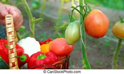 Picking Ripe Tomato