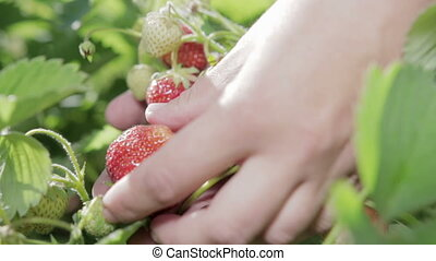 Picking strawberries. Handful of berries in hand