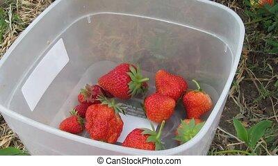 picking strawberries in the garden