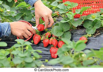 picking strawberry in garden