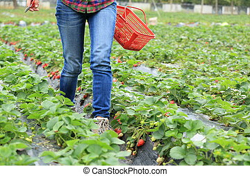 picking strawberry in garden
