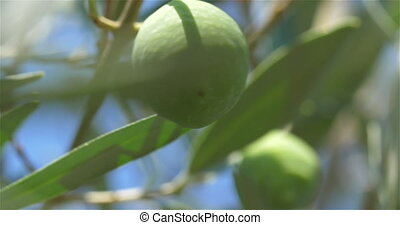 Picking up a green olive - Extreme close-up shot of a hand...