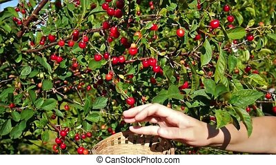 Picking up red cherry from cherry tree