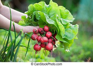 picking vegetables - woman picking fresh radish from her...