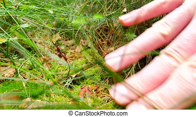 Picking white mushroom in the forest grass, close wide view....
