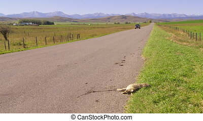 Pickup and dead coyote - Pickup truck passes a roadkill...