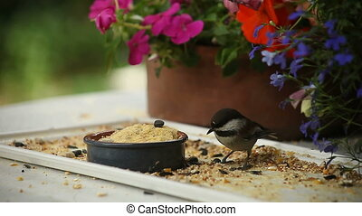 picky chickadee - a chickadee rejects many seeds before...