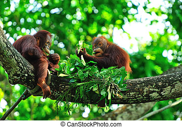 Picnic - Two baby orangutans having a picnic of fresh leaves...