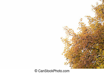 Fragment of a yellow maple on the white background.