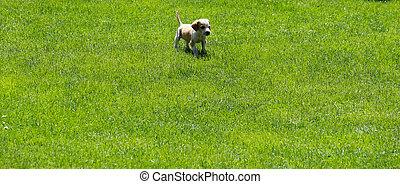 cute puppy running o a grass field