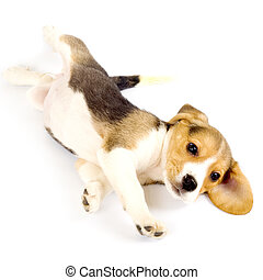 picture of a beagle puppy rolling on a white background