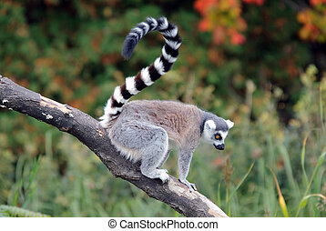 Ring-tailed Lemur - Picture of a beautiful Ring-tailed Lemur...