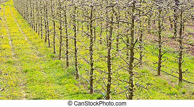 beautifull apple orchard in april