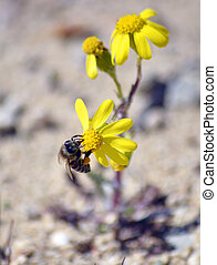 Bee on the chamomile flower with yellow petals